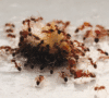 Best Products to Get Rid of Ants in Malaysia, How do I get rid of ants in Malaysia? How do I get rid of ants in Malaysia?,What is the best product to get rid of ants?,What is the fastest way to get rid of ants?,How do I get rid of red ants in Malaysia?